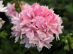"Pelargoniums – tagged ""Stellar"" – Page 4 – Fibrex Nurseries Ltd Romantic Flowers, Love Flowers, Ivy Leaf, Geraniums, Quilt Making, Sweet Dreams, Hibiscus, Shrubs, Biodegradable Products"