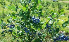 Blueberry Season on