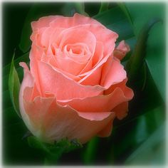 my favorite color rose-thank you Frank Pickel for always sending these to me over the years...PLAYBOY!! LOLOL