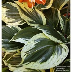 Hosta Independence Funkia, Plantain Lily Height: Medium in flower) / Plant apart Bloom Time: Summer to Late Summer Sun-Shade: Mostly Sunny to Full Shade Zones: Get Your Zone Soil Condition: Normal, Acidic Flower Color / Accent: Lavender / Lavender Shade Garden Plants, Hosta Plants, Foliage Plants, Leafy Plants, Trees And Shrubs, Trees To Plant, Plant Leaves, Plantain Lily, Hosta Varieties