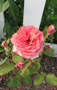 Welcome, my name is Brooke Kroeger and can easliy say I live my life in a garden. I just love beautiful things. I am an avid gardener and collect vintage roses and cottage style flowers. I share my own garden at my Creative Country Mom website, http://creativecountrymom.blogspot.com    This rose is.... Aloha