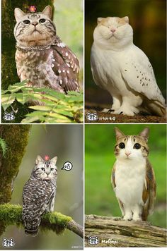 cat owls - Google Search (meowls)