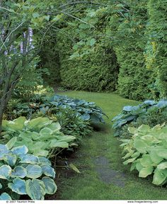 path flanked by hostas with colorful leaves.  Love hostas!