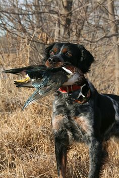 The French Brittany - Gun Dog Magazine French Brittany Spaniel, Brittany Spaniel Dogs, Dog Photos, Dog Pictures, Hunting Dogs, Hunting Birds, Grouse Hunting, Duck Hunting, Waterfowl Hunting
