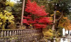 Amazing but true-tree in Nikko