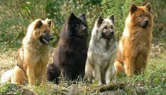 Eurasier is a very new dog breed. Developed in the 1960s in Germany by Julius Wipfel to be a family pet. The original mix included the Chow Chow, the Wolfspitz, and later the Samoyed. Although watchful and wary of strangers, this is not a working dog. The tail is carried over the back. The coat has a thick undercoat, with a medium long outer coat that lies flat. The coat can be fawn, red, wolf gray, black or black and tan. The Eurasier is very playful.
