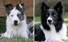 On Target Border Collies - XTC X Vader