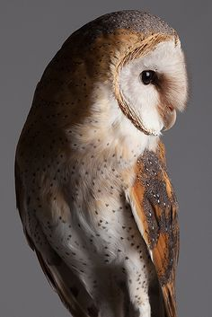 Source: Flickr / paulkitchener  #barn owl