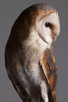 barn owl by Paul Kitchener {PEAK Image}... studio portrait