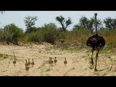 Run Babies Run!  Curious Wildlife Behavior #NikelaAfrica