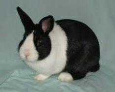 Rabbit Breeds: A Comprehensive List of Over 150 Varieties - Online Rabbit Care Dwarf Rabbit, Pet Rabbit, Dwarf Bunnies, Bunny Rabbits, Bunny Paws, Show Rabbits, Baby Animals, Cute Animals, Rabbit Breeds