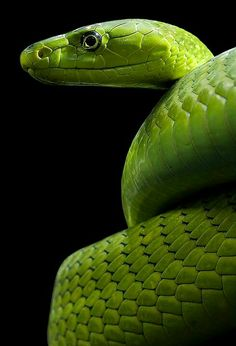 Grüne Mamba - Dendroaspis viridis - Reload 2 von Markus Trenkner - So green! Les Reptiles, Reptiles And Amphibians, Beautiful Snakes, Animals Beautiful, Types Of Snake, Largest Snake, Snake Art, Cute Snake, Snake Venom