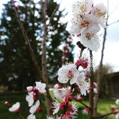 Abricotier en fleurs à Brin de Cocagne - Chambre d'hôtes écologique de charme dans le Tarn près d'Albi - Brin de Cocagne