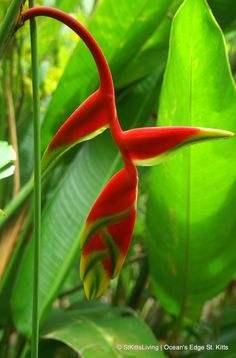 Some of the beautiful plants found on the island of St. Kitts and Nevis