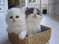 Cute White Kitten.