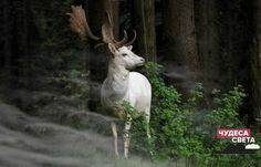 """Sony world photography awards entries """"A white fallow deer standing in the morning mist an early morning in Eifel National Park, Germany. One hardly dares to move – can only look fascinated."""" Photo by Georg May, Germany World Photography, Photography Awards, Animal Photography, Photography Tricks, Photography Competitions, Amazing Photography, Beautiful Creatures, Animals Beautiful, Cute Animals"""