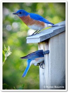 bluebirds who nest in houses nailed to fenceposts.