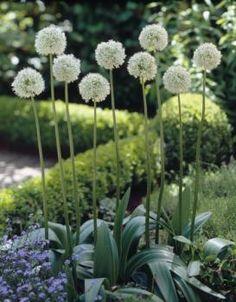 Love the hedge in the back.  Allium stipitatum Mount Everest -