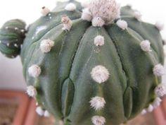 astrophytum asterias cv. ooibo fukuryu