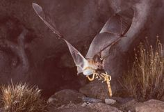 A pallid bat catching a scorpion for dinner!  Photo: Merlin Tuttle/Bat Conservation International