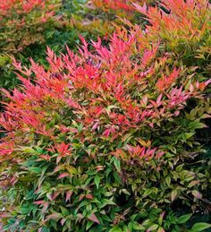 Nandina domestica 'Gulf Stream'-has all the great qualities of nandina domestica-hardy, drought tolerant, clean, able to tolerate a variety of exposures and soils. Gulf Stream is a more compact grower, not as leggy.