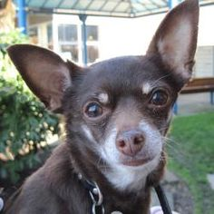 Philomath, OR. Chihuahua. DIESEL needs a new home because his owner became homeless & could not take care of him. He is a very smart, sweet little dog who loves to be active; but also likes his naptime, preferably on your lap.  He is 11 yo & weighs just under 8 ils.  He is great around other dogs & people, but would prob. be better in a home without small kids due to his size. He is very healthy, UTD on all of his shots & recently had his teeth cleaned.  541-224-2488 or SDROregon@gmail.com