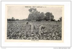 Black women picking Cotton , PINEVILLE, South Carolina, 1920-30s - Delcampe.com