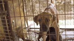 """Da Yulin ai """"Bok Nal"""" coreani: """"Mangiare la Felicità"""", il film del cinese Genlin sul mercato della carne di cane.  Non solo Yulin. La mattanza del """"miglior amico dell'uomo"""" da parte del """"peggior nemico del cane"""" raggiunge il picco"""