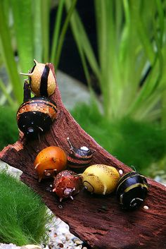 Clithon sowerbyana by Chris Lukhaup, via Flickr. Nerite Snails.
