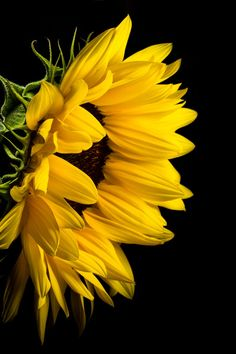 Close Photo of Yellow Sunflower on Black Background Black Background Painting, Flowers Black Background, Black Background Photography, Sunflower Pictures, Sunflower Art, Yellow Sunflower, Sunflower Garden, Sunflower Iphone Wallpaper, Flower Phone Wallpaper