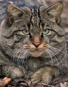 Scottish wildcat. The wildcat (Felis silvestris) is a small cat native to most of Africa, Europe, and Southwest and Central Asia into India, western China, and Mongolia.