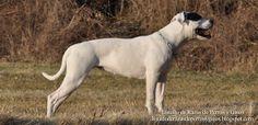 Foto de una hembra de Bulldog Americano en el campo. Raza de perro (Photo of a female American Bulldog in the field. Breed of dog)