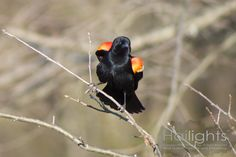 Showing his Colors (Male Red-winged Blackbird)