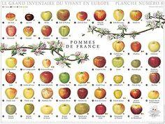 Google Image Result for http://4.bp.blogspot.com/_M8NFHb2H_2w/ShHJFN-gXYI/AAAAAAAAAsE/XEQO3aZ0hLU/s400/apples.jpg