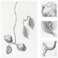 Brachychiton populneus (Kurrajong Pods) by Sharon Field Botanical Drawings, Botanical Art, Botanical Illustration, Botanical Flowers, Graphite Drawings, Art Drawings, Selling Art Online, Online Art, Illustration Botanique
