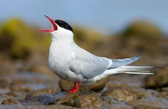 The Arctic Tern (Sterna paradisaea) is a seabird of the tern family Sternidae. This bird has a circumpolar breeding distribution covering the Arctic and sub-Arctic regions of Europe, Asia, and North America (as far south as Brittany and Massachusett