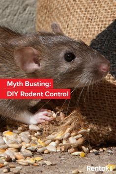 How effective are mothballs and peppermint oil in getting rid of. The Effective Pictures We Offer You About Rodents list A quality picture can tell you many things. You can find the most beautiful p Types Of Bugs, Types Of Insects, Mothballs Uses, Pest Inspection, Bees And Wasps, Pest Control Services, Peppermint Oil, Humming Bird Feeders, Garden Guide