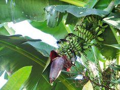 5/21(土)バリ島ウブドのお天気は晴れ。室内温度28.9℃、湿度75%。お隣さんの庭に、大きなバナナがが実り始めました。バナナの花はお料理に使えるんですよ♪