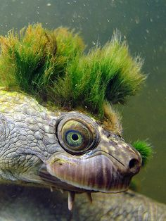 Some weeds have grown on the head of this Mary River Turtle creating the illusion of a green crest