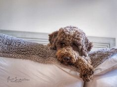 Anett Seidensticker - Photographie - Podgi & Beppa Italian Water, Lagotto Romagnolo, Doggies, Puppies, Animals, Dog, Photography, Good Night, Animales