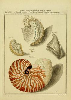 Neues systematisches Conchylien-Cabinet 1 Bd. (1769)  Nürnberg :Bey Gabriel Nikolaus Raspe,1769-1829.  Biodiversitylibrary. Biodivlibrary. BHL. Biodiversity Heritage Library