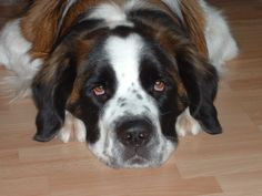 Did you know? Dogs with big, square heads and large ears (like the Saint Bernard) are the best at hearing subsonic sounds. http://www.facebook.com/pages/CHACO-Dog-Training-Behavior-Consulting-LLC/106862209336142