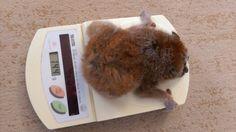 あこたんの体重測定 Slow Loris, Nintendo Consoles, Lemur