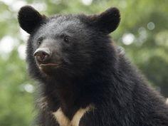 Asian black bear(Ursus thibetanus japonicus)ツキノワグマ