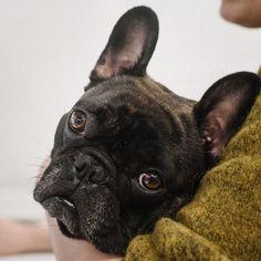 French Bulldog, Friends, Dogs, Animals, Amigos, Animales, Animaux, French Bulldog Shedding, Pet Dogs