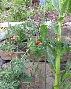 Hjemmedyrkede Tomater
