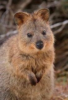 Quokka | Rottnest Island, Western Australia