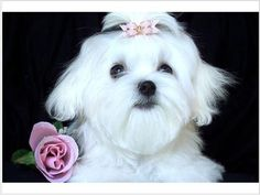 Akc Registered Adorable Maltese Puppies Needs Good homes