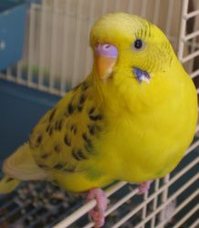 This page describes all the budgie varieties with pied markings, so if you want to work out what variety your budgie is...