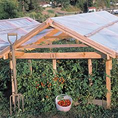 Cover tomato plants to beat the blight